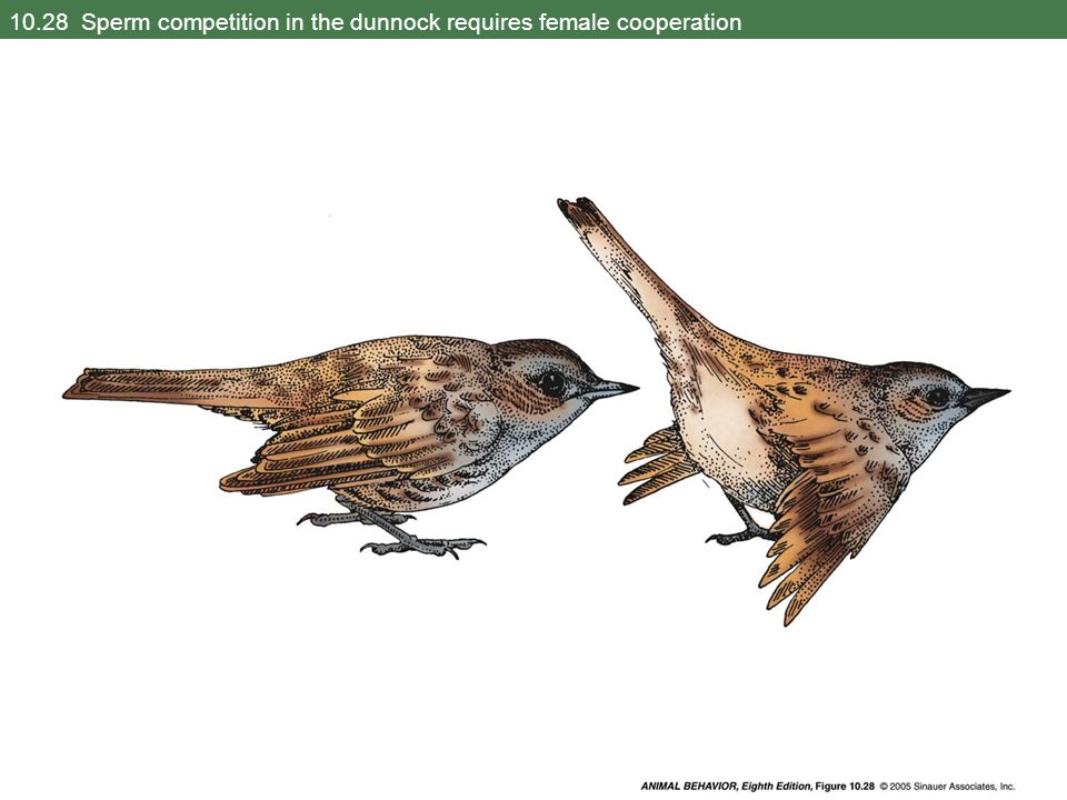 10.28 Sperm competition in the dunnock requires female cooperation