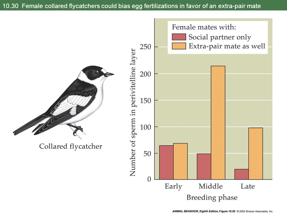 10.30 Female collared flycatchers could bias egg fertilizations in favor of an extra-pair mate