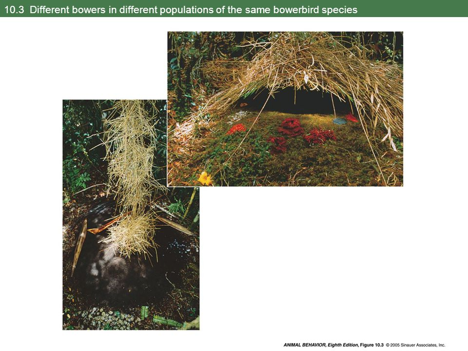 10.3 Different bowers in different populations of the same bowerbird species