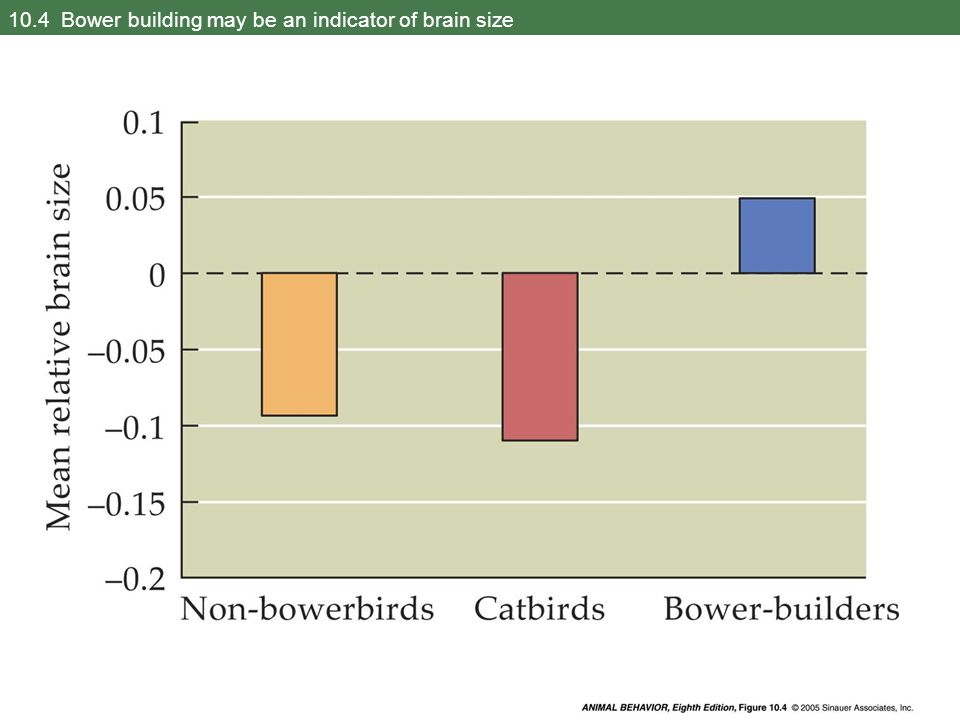 10.4 Bower building may be an indicator of brain size