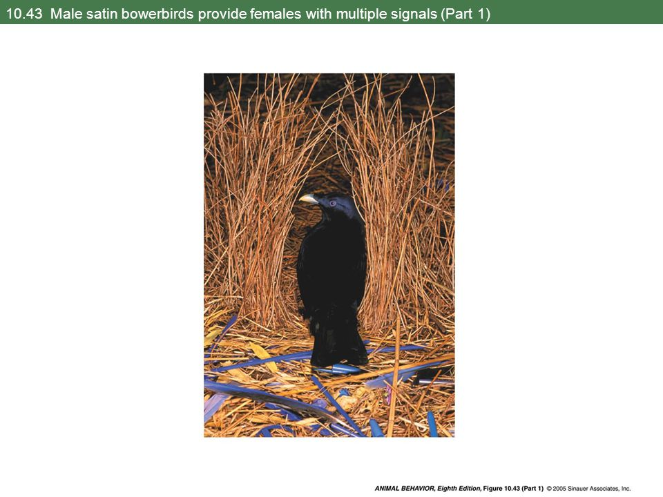 10.43 Male satin bowerbirds provide females with multiple signals (Part 1)