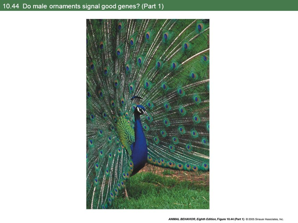 10.44 Do male ornaments signal good genes (Part 1)