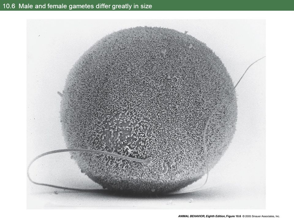 10.6 Male and female gametes differ greatly in size