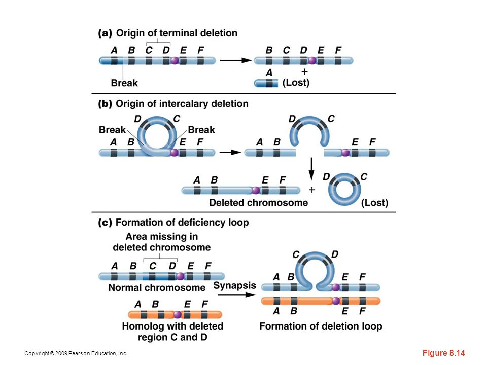 Figure 8-15 Origins of (a) a terminal and (b) intercalary deletion
