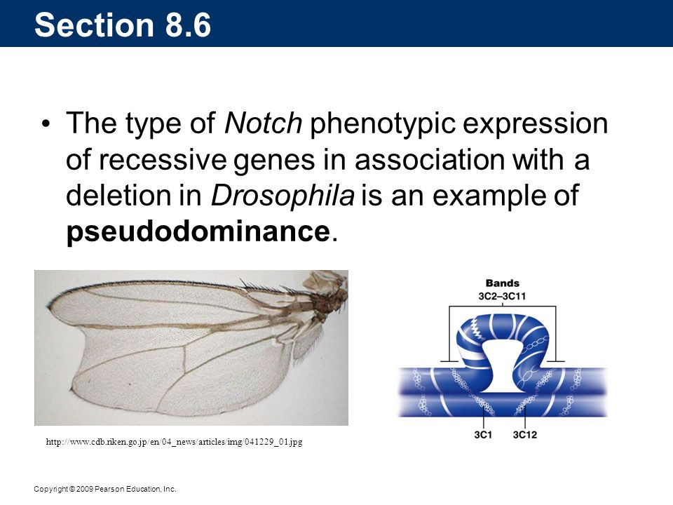 Section 8.6 The type of Notch phenotypic expression of recessive genes in association with a deletion in Drosophila is an example of pseudodominance.