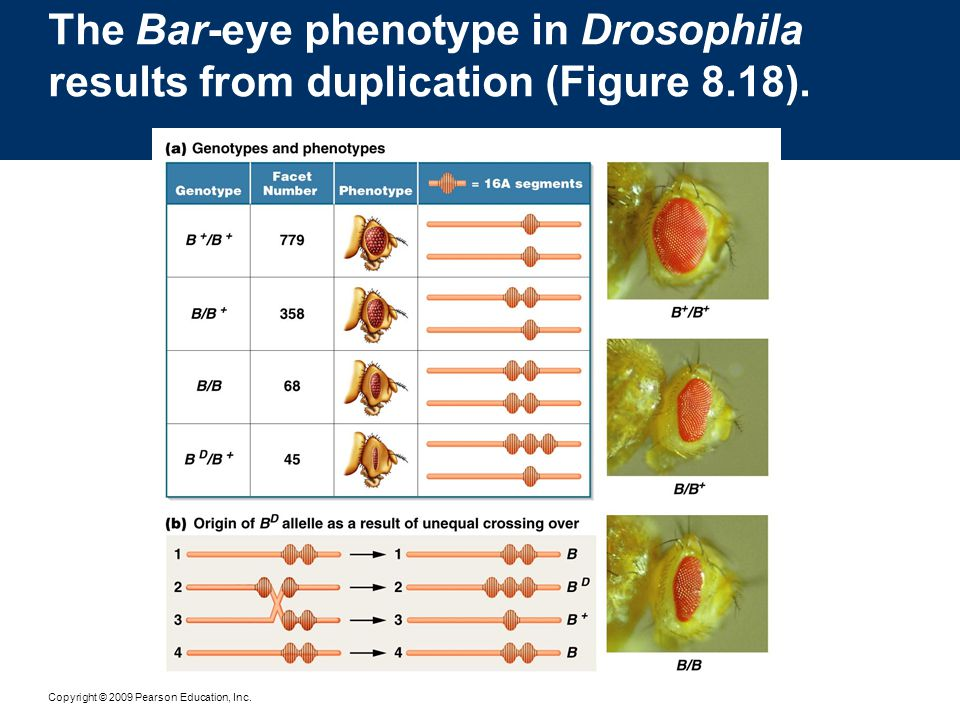 The Bar-eye phenotype in Drosophila results from duplication (Figure 8