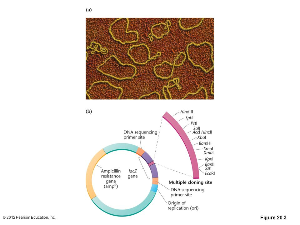 Figure 20-3 A color-enhanced electron micrograph of circular plasmid molecules isolated from E. coli. Genetically engineered plasmids are used as vectors for cloning DNA. (b) A diagram of a typical DNA cloning plasmid.