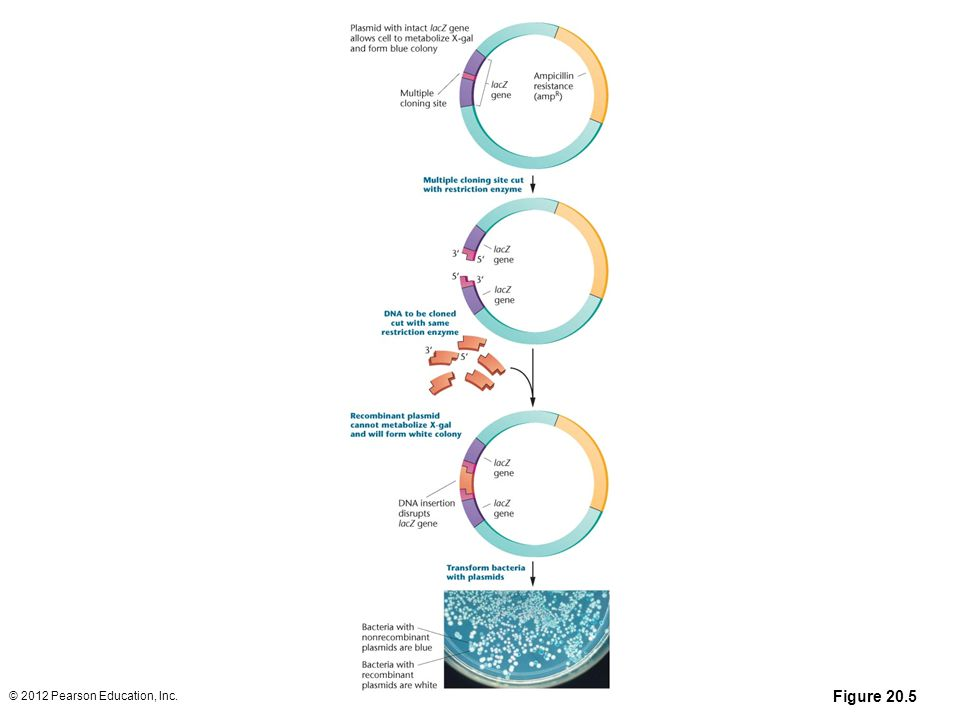 Figure 20-5 In blue-white selection procedures, DNA inserted into multiple cloning site of a plasmid disrupts the lacZ gene so that bacteria containing recombinant DNA are unable to metabolize X-gal, resulting in white colonies that allow direct identification of bacterial colonies carrying cloned DNA inserts. Photo of a Petri dish showing the growth of bacterial cells after uptake of recombinant plasmids. Cells in blue colonies contain vectors without cloned DNA inserts, whereas cells in white colonies contain vectors carrying Dna inserts.