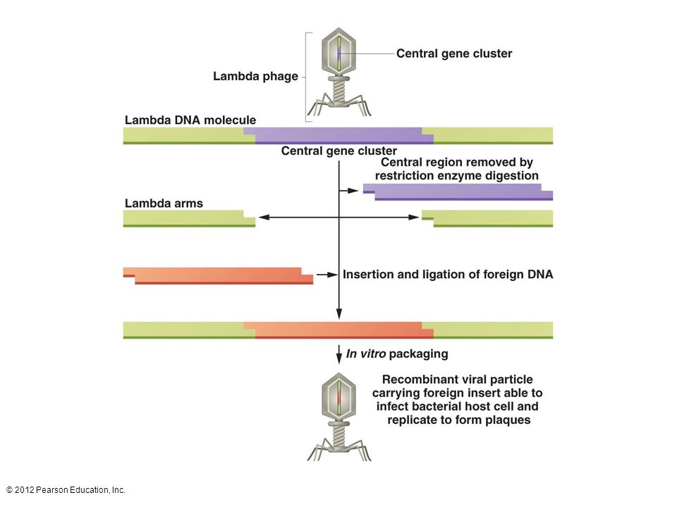  phage as a vector. DNA is extracted from the phage, the central gene cluster is removed, and the DNA to be cloned is ligated into the arms of the  chromosome. The recombinant chromosome is then packaged into phage proteins to form a recombinant virus.