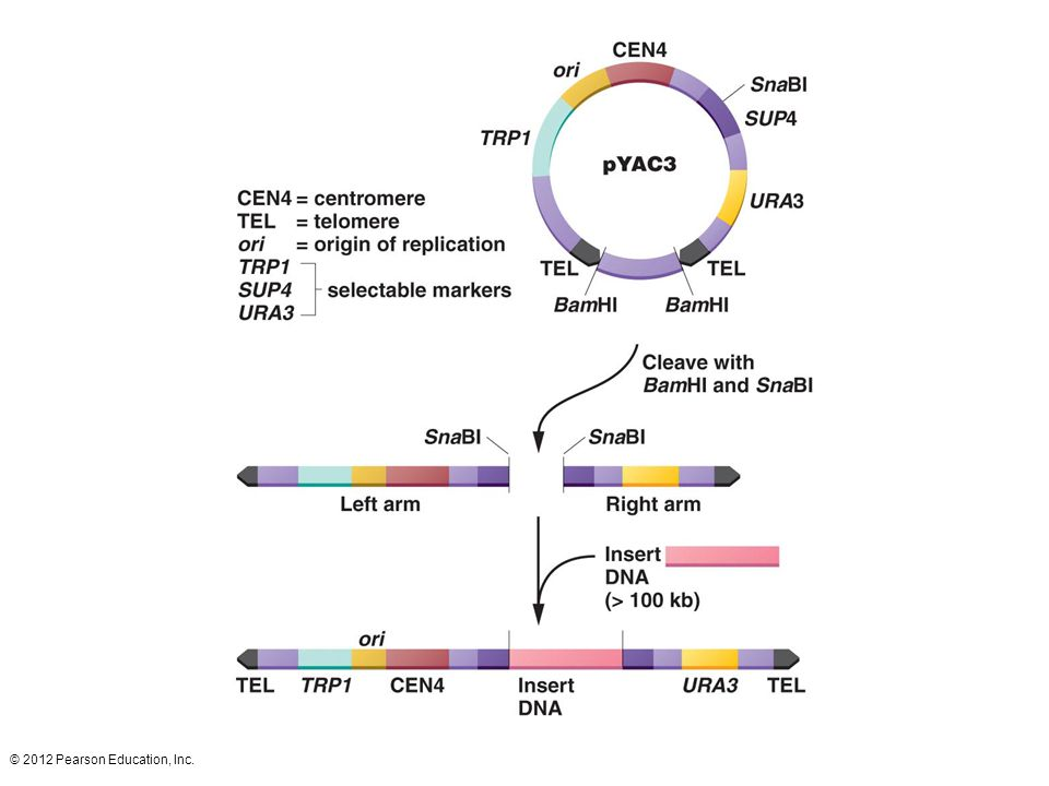 The yeast artificial chromosome pYAC3 contains telomere sequences (TEL), a centromere (CEN4) derived from yeast chromosome 4, and an origin of replication (ori). These elements give the cloning vector the properties of a chromosome. TRP1 and URA3 are yeast genes that are selectable markers for the left and right arms of the chromosome. Within the SUP4 gene is a restriction enzyme recognition sequence for the enzyme SnaB1. Two BamH1 recognition sequences flank a spacer segment. Cleavage with SnaB1 and BamH1 breaks the artificial chromosome into two arms. The DNA to be cloned is treated with SnaB1 producing a collection of fragments. The arms and fragments are ligated together, and the artificial chromosome is inserted into yeast host cells. Because yeast chromosomes are large, the artificial chromosome accepts inserts in the million base-pair range.