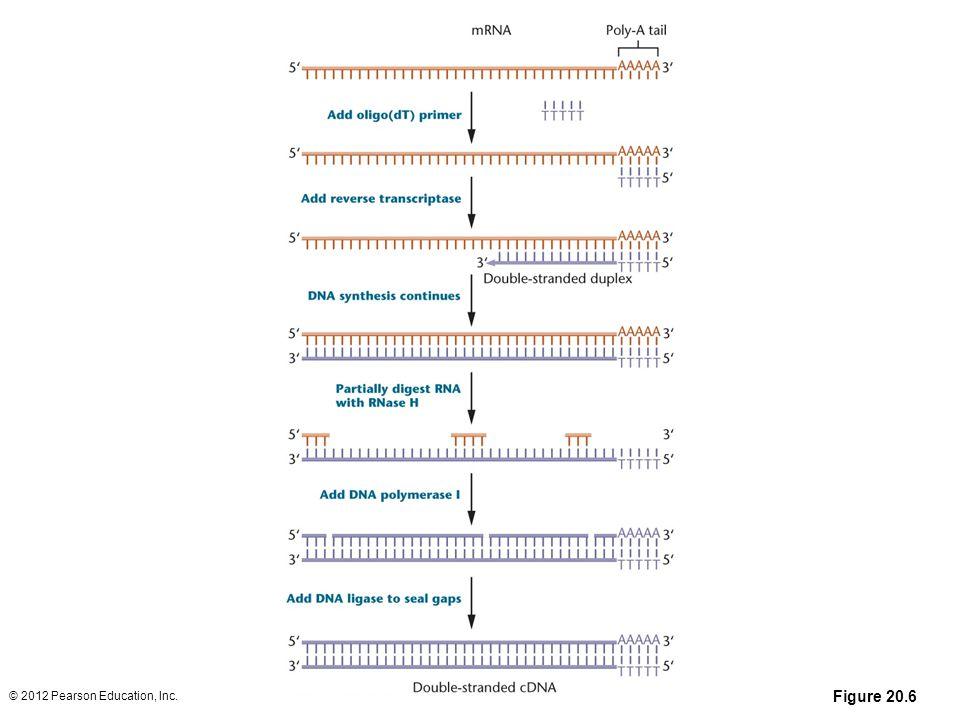 Figure 20-6 Producing cDNA from mRNA