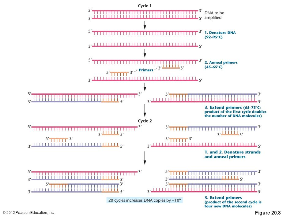 Figure 20-8 In the polymerase chain reaction (PCR), the target DNA is denatured into single strands; each strand is then annealed to short, complementary primers. DNA polymerase extends the primers in the 5 to 3 direction, using the single-stranded DNA as a template. The result after one round of replication is a doubling of DNA molecules to create two newly synthesized double-stranded DNA molecules. Repeated cycles of PCR can quickly amplify the original DNA sequence more than a millionfold.
