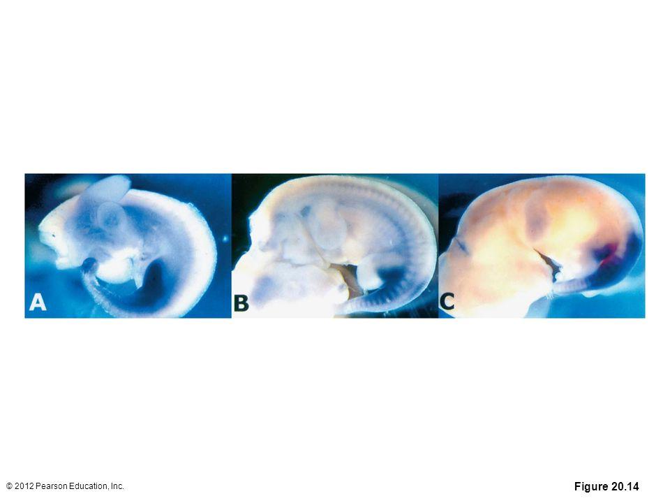 Figure 20.14 © 2012 Pearson Education, Inc.