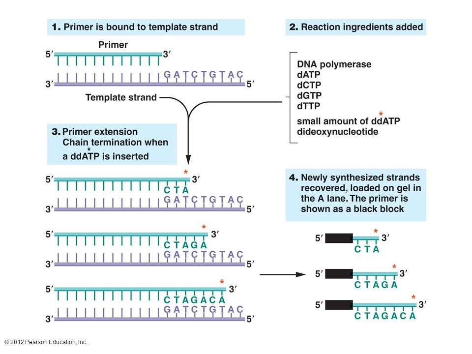 DNA sequencing using the chain termination method