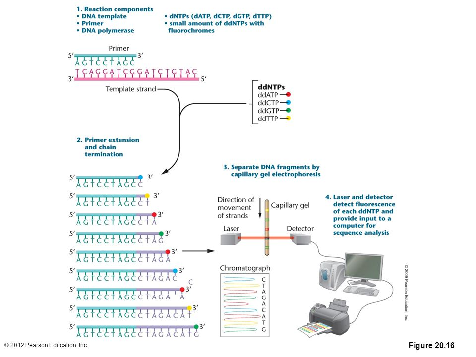 Figure 20-16 Computer-automated DNA sequencing using the chain-termination (Sanger) method. (1) A primer is annealed to a sequence adjacent to the DNA being sequenced (usually near the multiple cloning site of a cloning vector). (2) A reaction mixture is added to the primer–template combination. This includes DNA polymerase, the four dNTPs, and small molar amounts of dideoxy-nucleotides (ddNTPs) labeled with fluorescent dyes. All four ddNTPs are added to the same tube, and during primer extension, all possible lengths of chains are produced. During primer extension, the polymerase occasionally (randomly) inserts a ddNTP instead of a dNTP, terminating the synthesis of the chain because the ddNTP does not have the OH group needed to attach the next nucleotide. Over the course of the reaction, all possible termination sites will have a ddNTP inserted. The products of the reaction are added to a single lane on a capillary gel, and the bands are read by a detector and imaging system. This process is now automated, and robotic machines, such as those used in the Human Genome Project, sequence several hundred thousand nucleotides in a 24-hour period and then store and analyze the data automatically. The sequence is obtained by extension of the primer and is read from the newly synthesized strand, not the template strand. Thus, the sequence obtained begins with 5´-ctagacatg-3´.