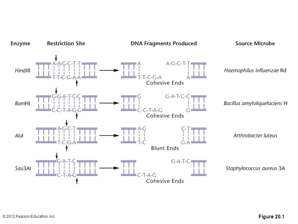 Figure 20-1 Common restriction enzymes, with their restriction sites, DNA cutting patterns, and sources. Arrows indicate the location in the DNA cut by each enzyme.