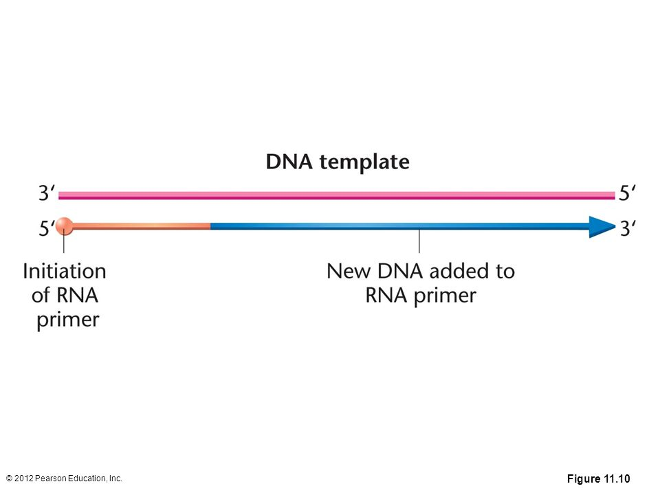 Figure 11-10 The initiation of DNA synthesis