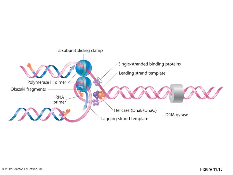 Figure 11-13 Summary of DNA synthesis at a single replication fork
