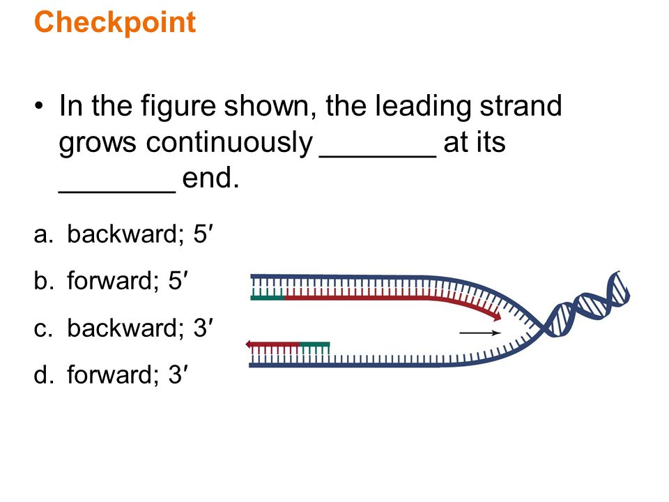 Checkpoint In the figure shown, the leading strand grows continuously _______ at its _______ end. backward; 5′