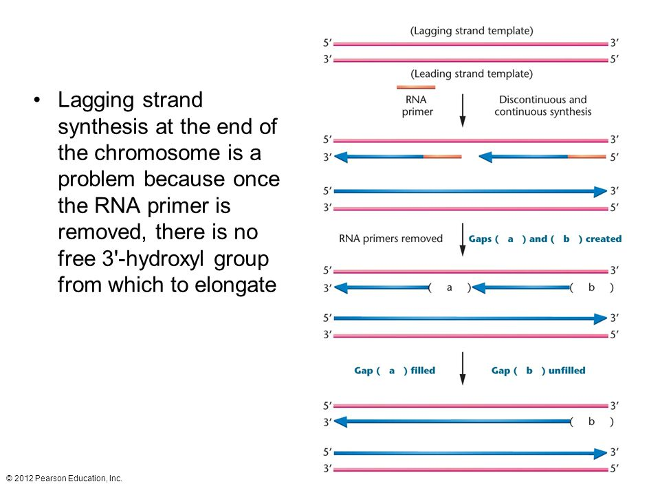 Lagging strand synthesis at the end of the chromosome is a problem because once the RNA primer is removed, there is no free 3 -hydroxyl group from which to elongate