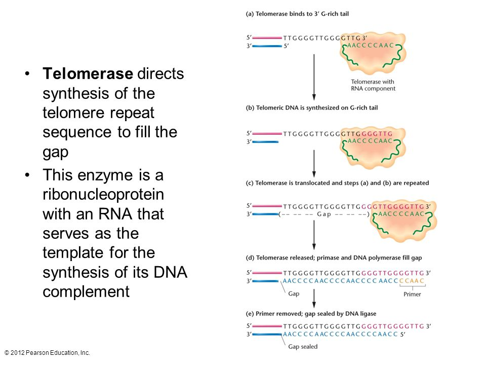 Telomerase directs synthesis of the telomere repeat sequence to fill the gap
