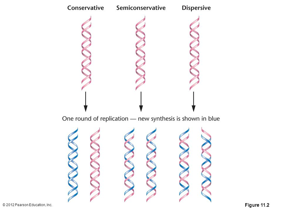 Figure 11-2 Results of one round of replication of DNA for each of the three possible modes by which replication could be accomplished.