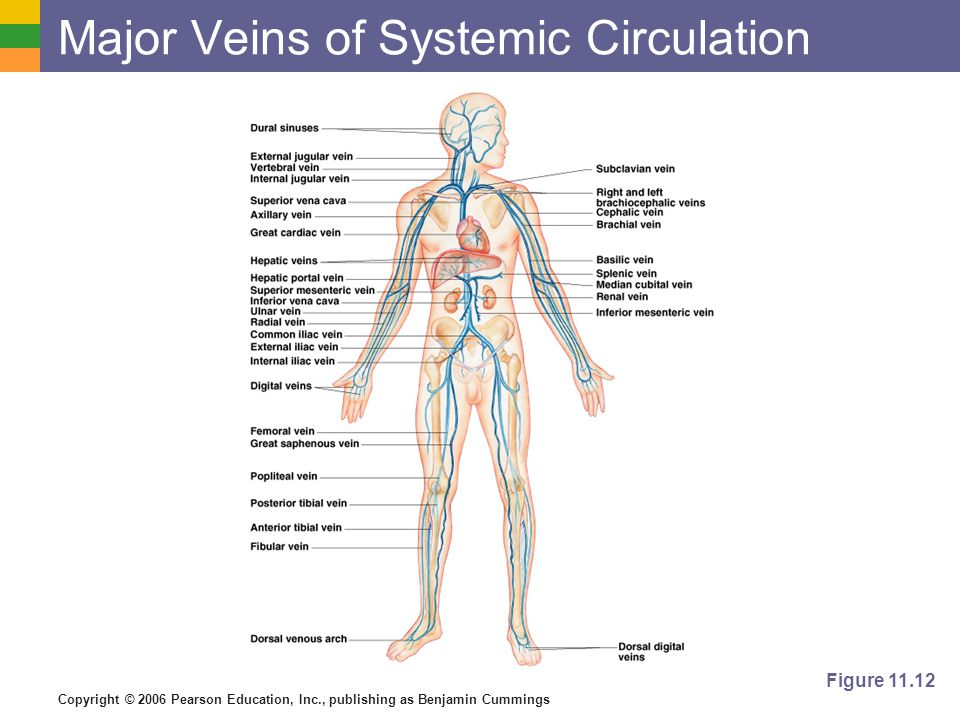 Major Veins of Systemic Circulation