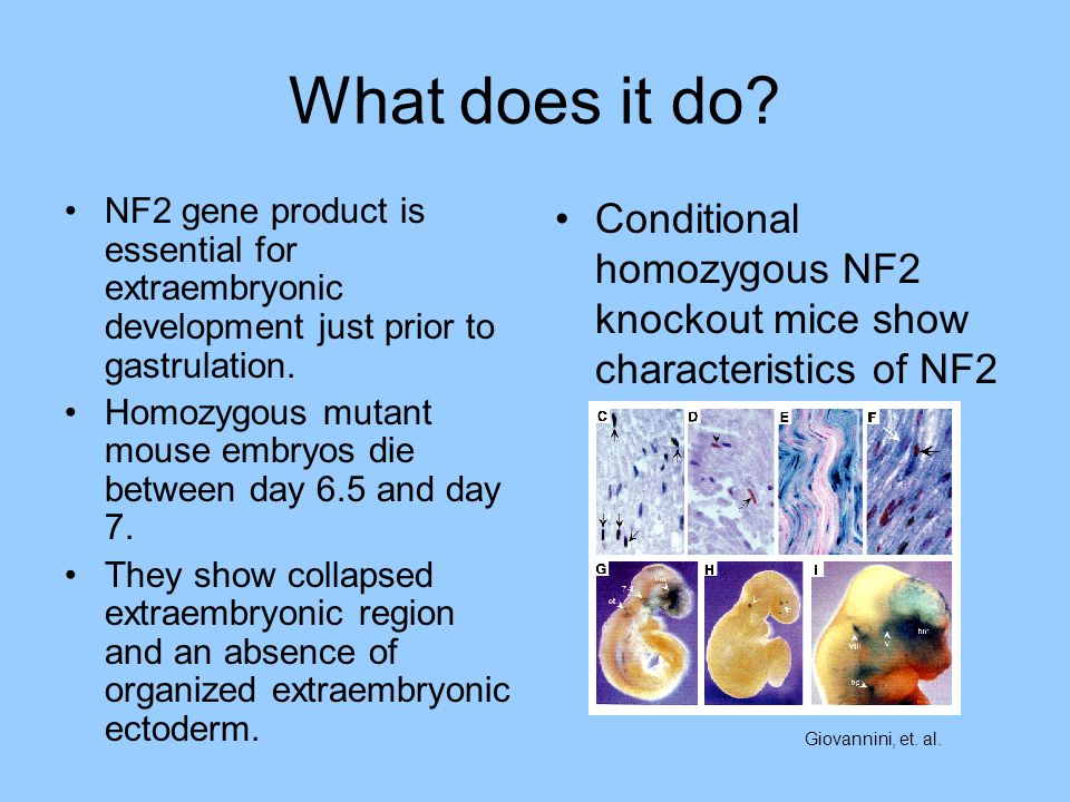 What does it do NF2 gene product is essential for extraembryonic development just prior to gastrulation.