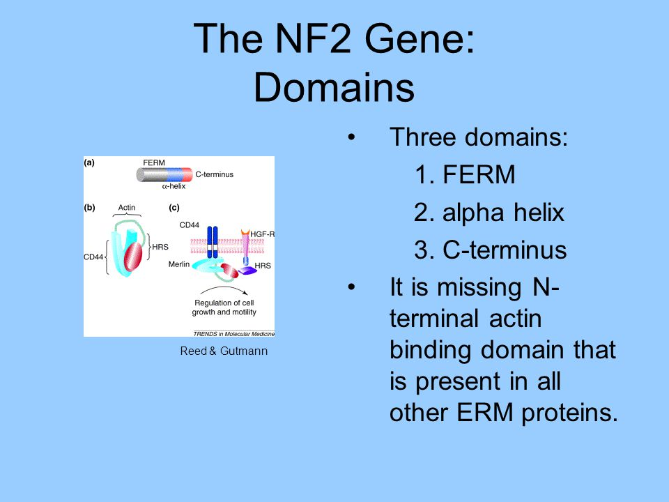 The NF2 Gene: Domains Three domains: 1. FERM 2. alpha helix