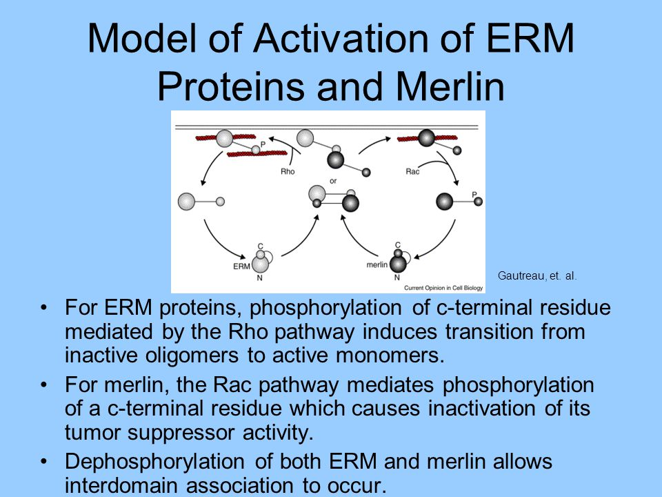 Model of Activation of ERM Proteins and Merlin