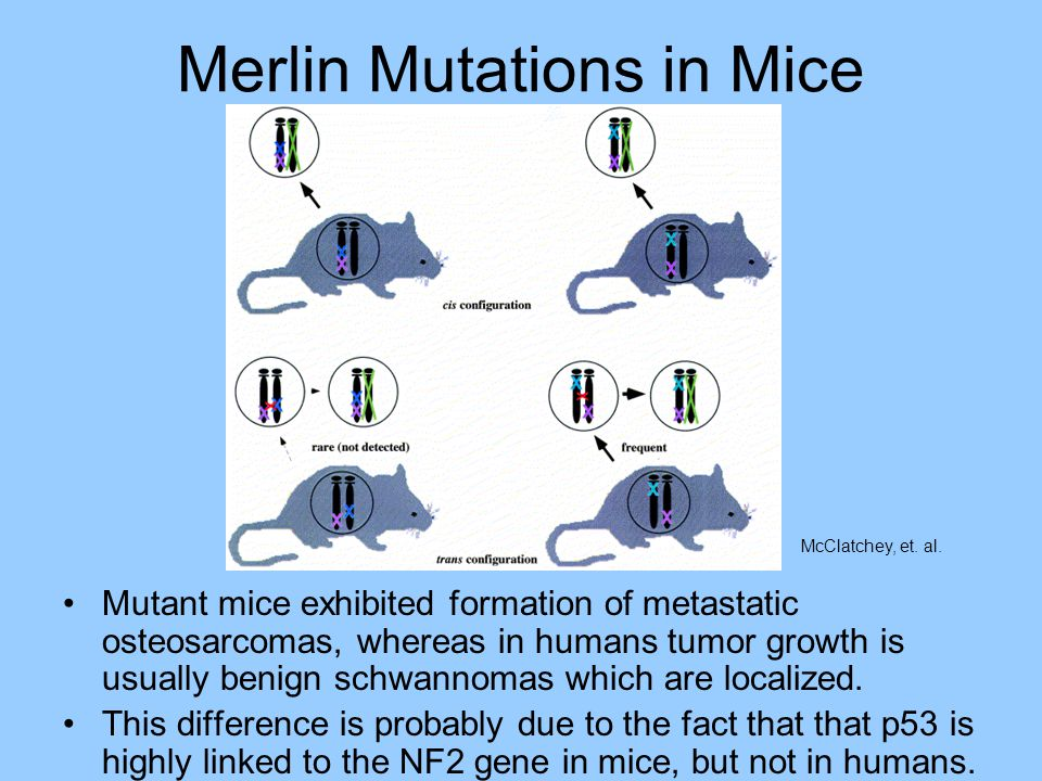 Merlin Mutations in Mice