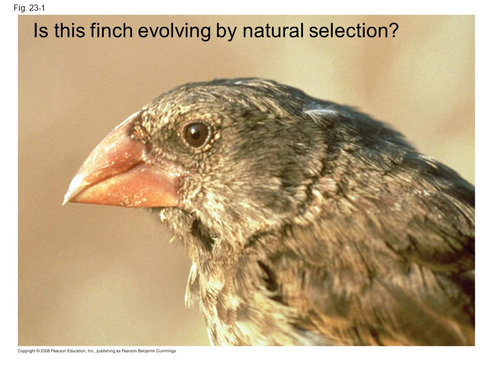 Is this finch evolving by natural selection