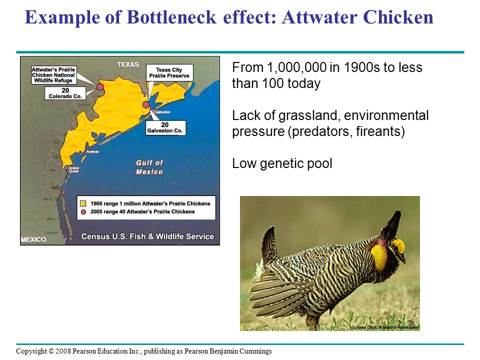 Example of Bottleneck effect: Attwater Chicken