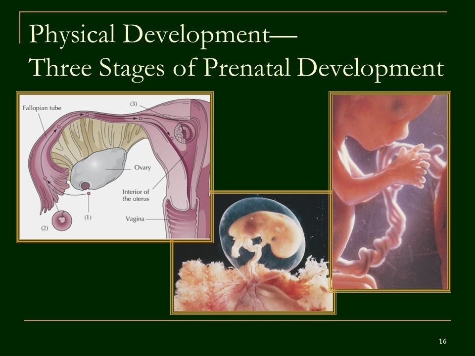 Physical Development— Three Stages of Prenatal Development