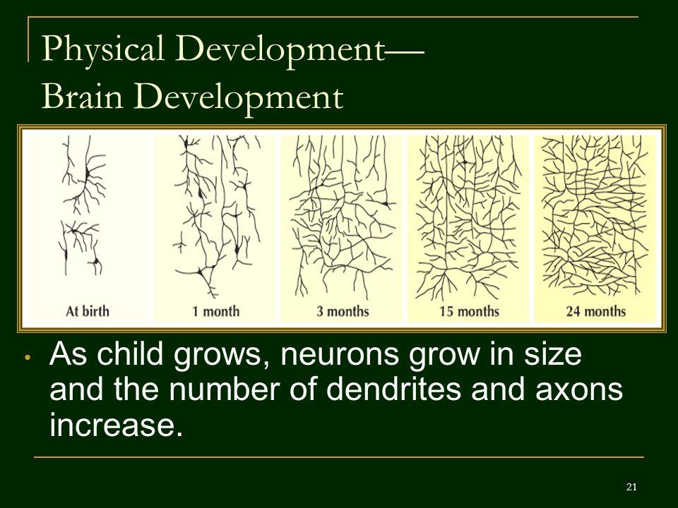 Physical Development— Brain Development