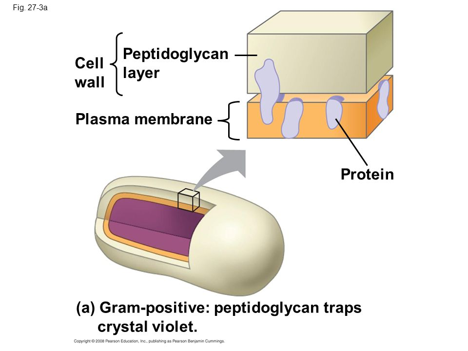 (a) Gram-positive: peptidoglycan traps crystal violet.