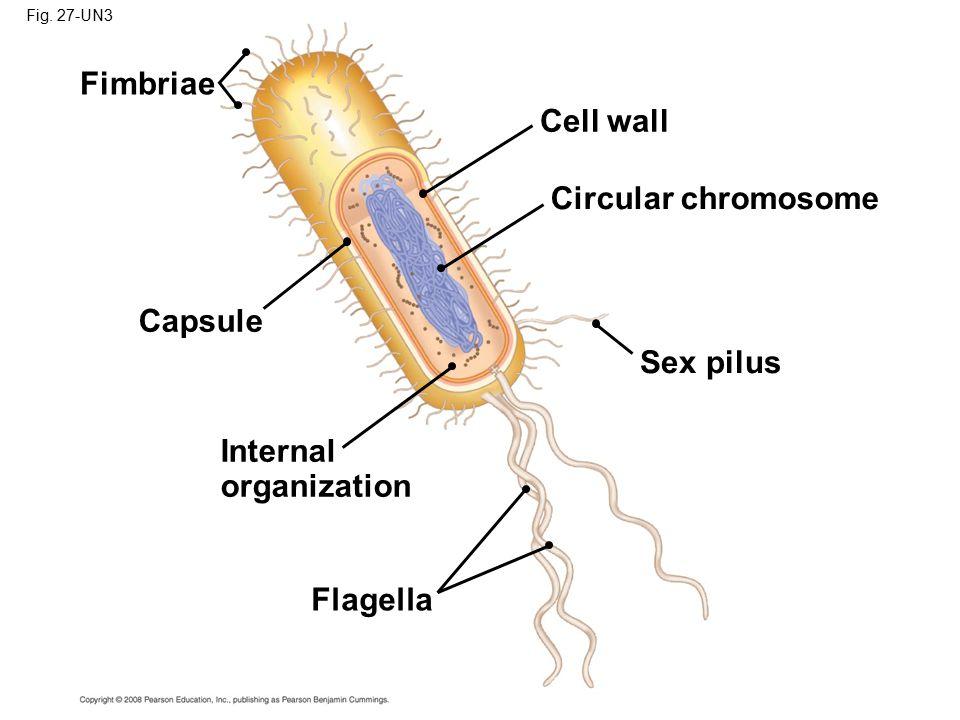 Fimbriae Cell wall Circular chromosome Capsule Sex pilus Internal
