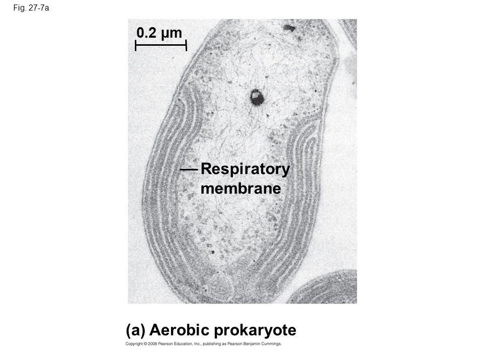 (a) Aerobic prokaryote