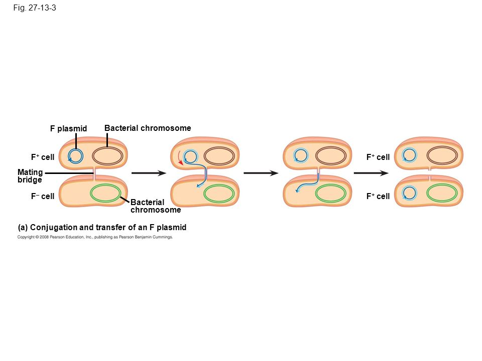 Fig. 27-13-3 F plasmid. Bacterial chromosome. F+ cell. F+ cell. Mating. bridge. F– cell. F+ cell.