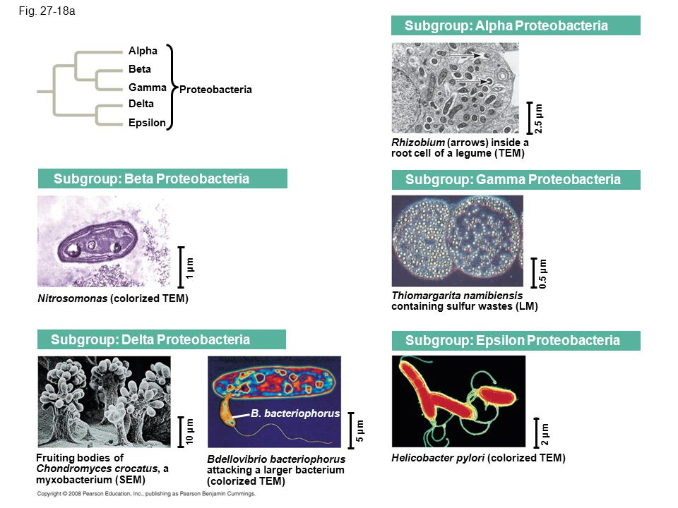 Subgroup: Alpha Proteobacteria