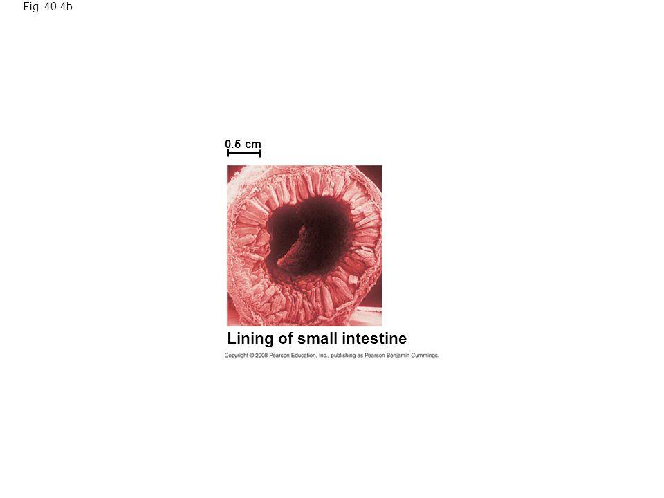 Lining of small intestine