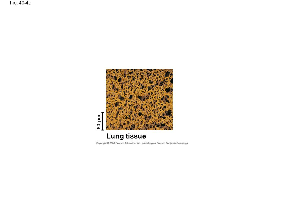 Fig. 40-4c 50 µm Lung tissue Figure 40.4 Internal exchange surfaces of complex animals