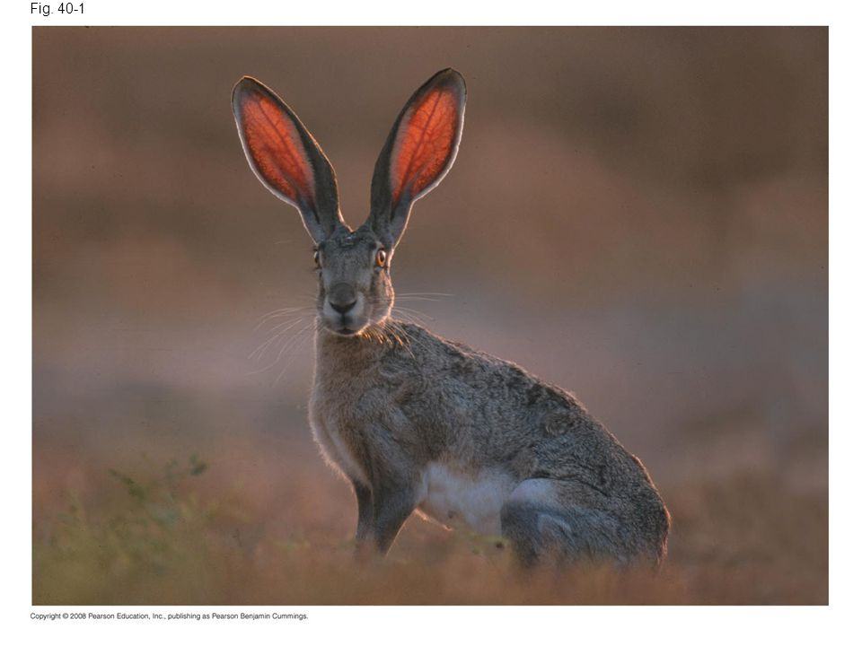 Fig. 40-1 Figure 40.1 How does a jackrabbit keep from overheating.