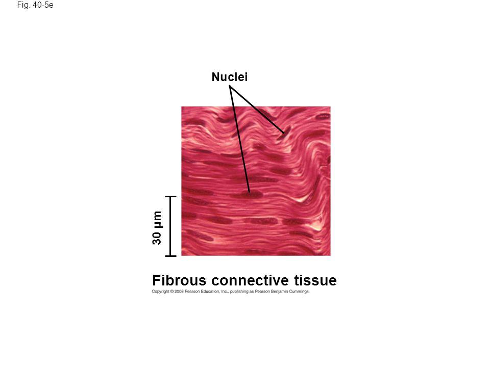 Fibrous connective tissue