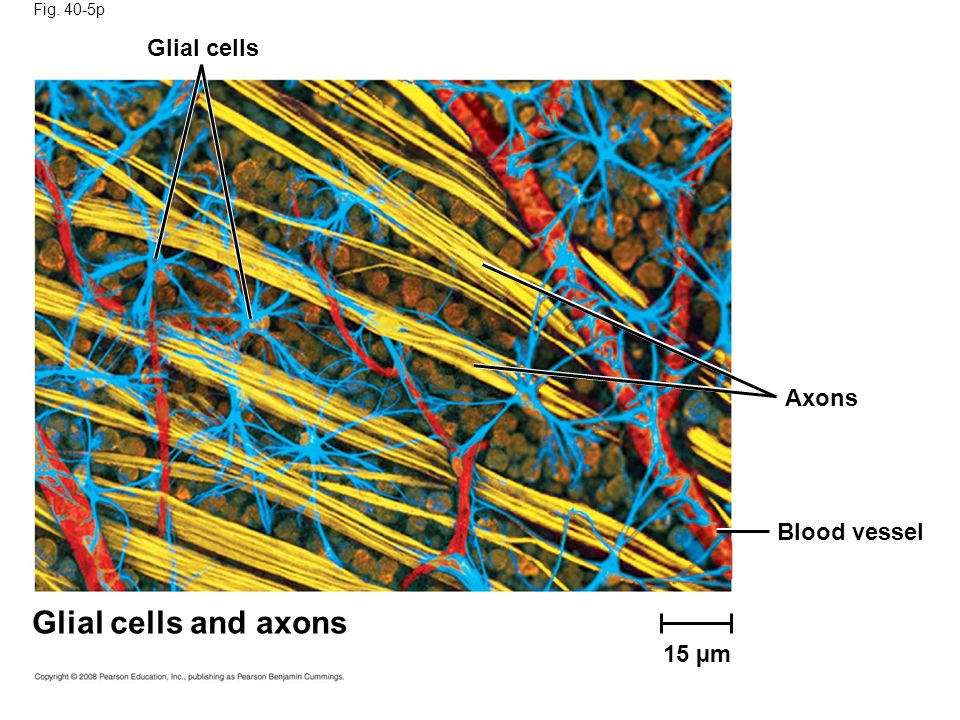 Glial cells and axons Glial cells Axons Blood vessel 15 µm Fig. 40-5p