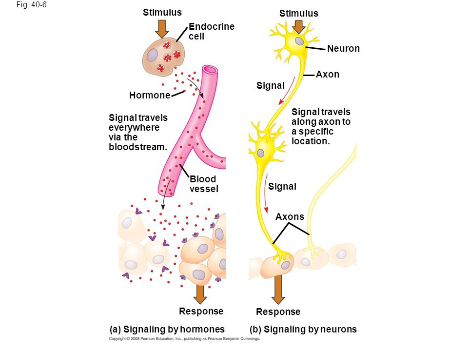 (a) Signaling by hormones (b) Signaling by neurons