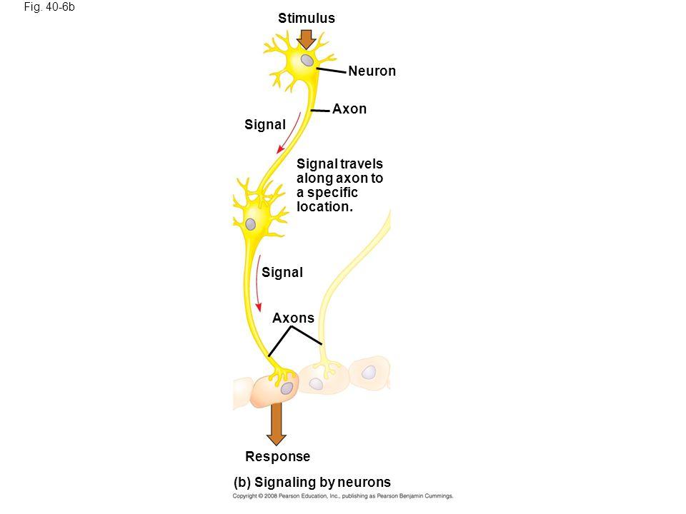(b) Signaling by neurons
