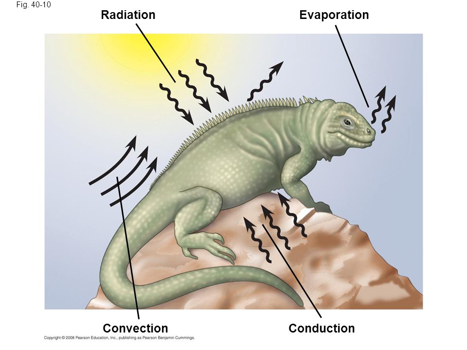 Radiation Evaporation Convection Conduction Fig. 40-10
