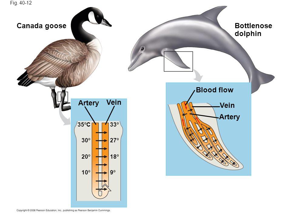 Canada goose Bottlenose dolphin Blood flow Artery Vein Vein Artery