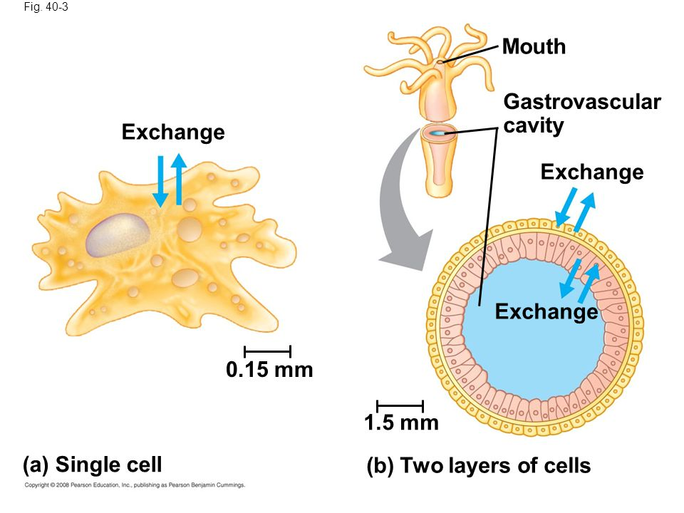 Mouth Gastrovascular cavity Exchange Exchange Exchange 0.15 mm 1.5 mm